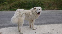Schäferhund in den Abruzzen-2 jahre alt
