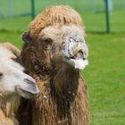 Schäumendes Kamel :-)