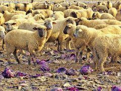 Schaf an Rotkohl 1