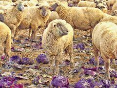 Schaf an Rotkohl 2