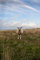 Schaf auf Amrum