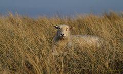 Schaf auf dem Ellenbogen auf Sylt