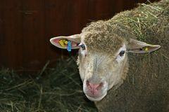 """""""Schaf im kleinen Weihnachtsstall"""""""