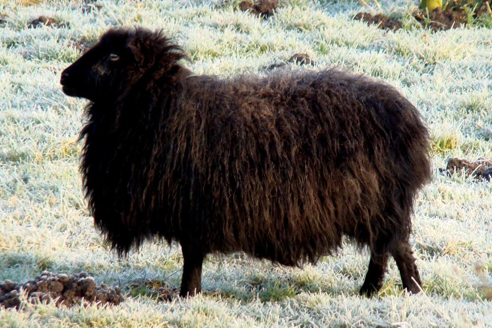 Schaf im Raureif