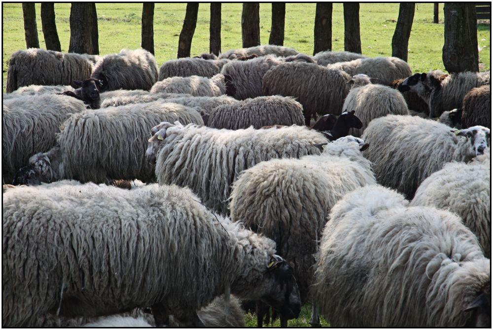 Schafe 101