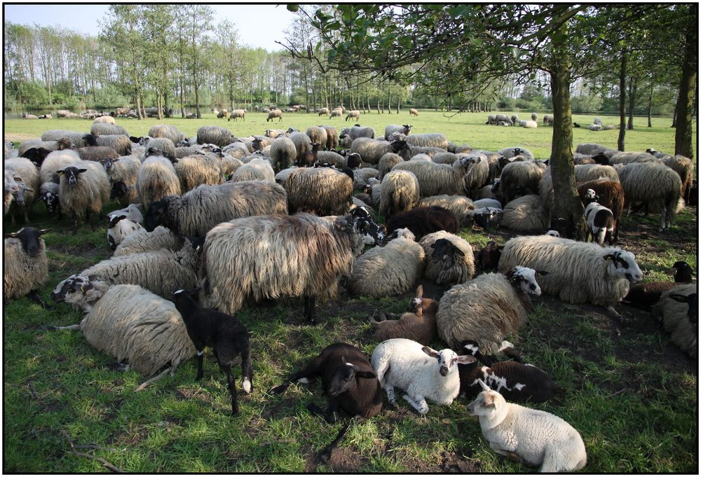Schafe 109