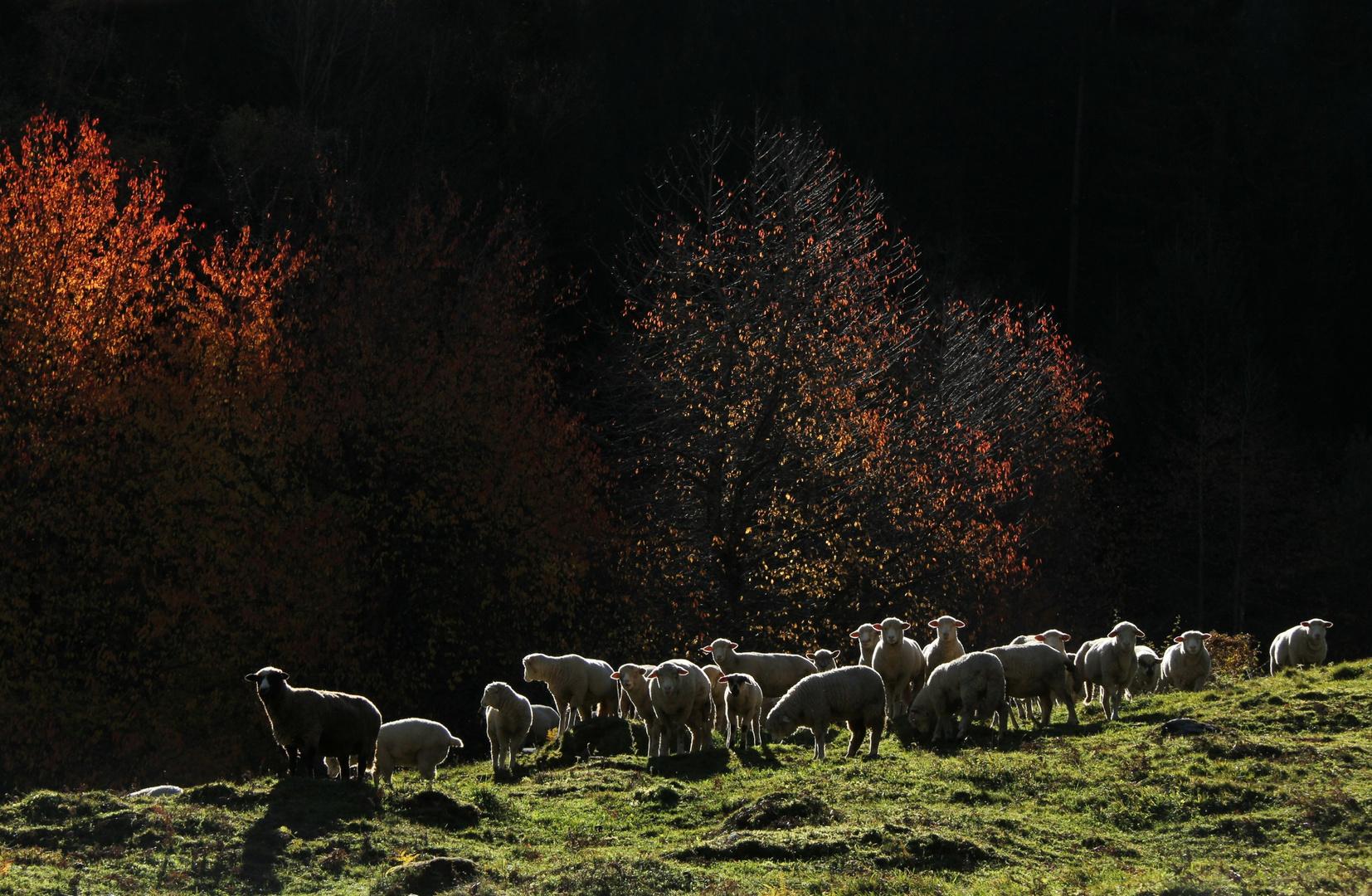 Schafe (6)
