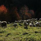 Schafe (7)