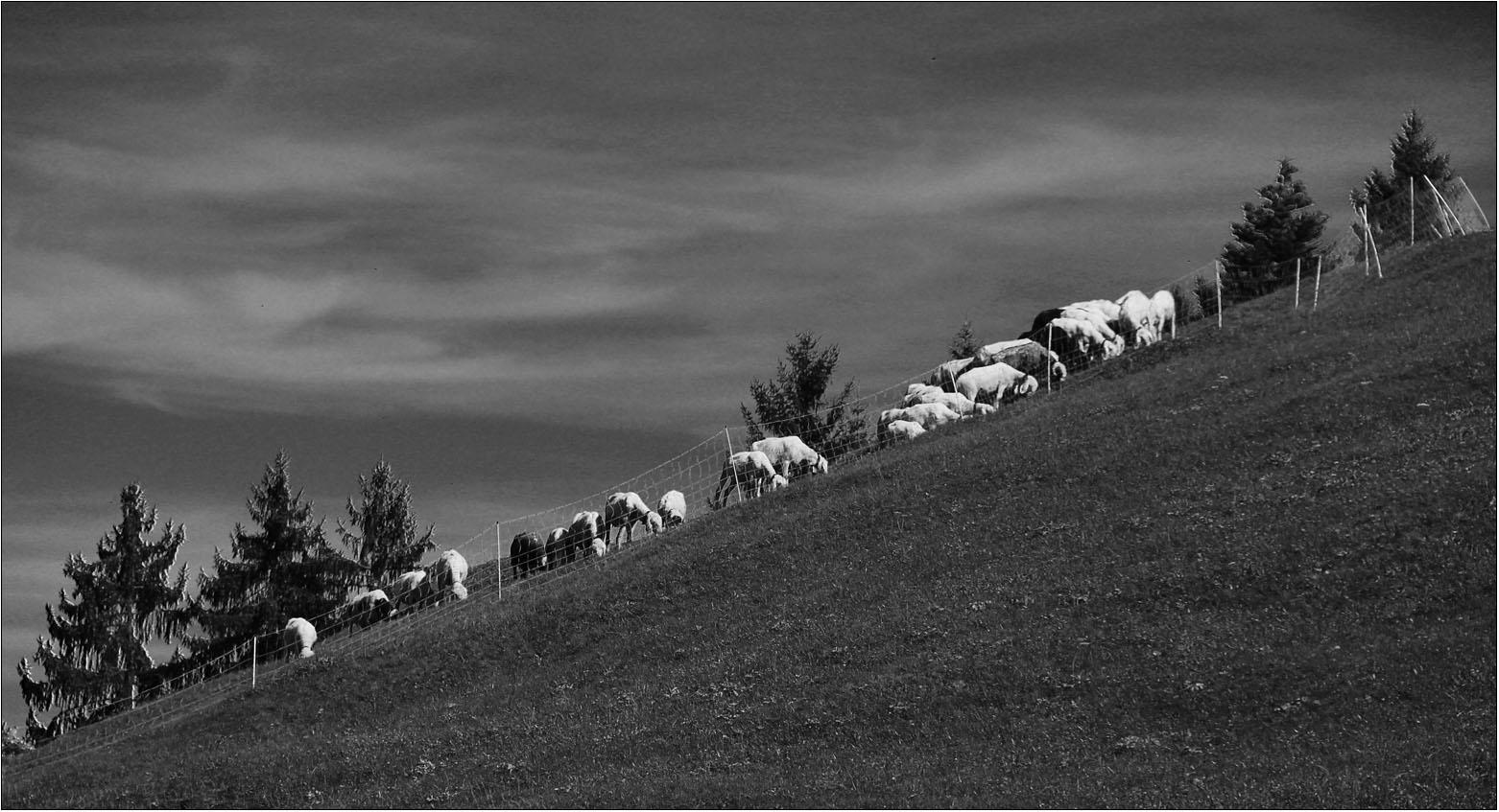 Schafe am Hang.