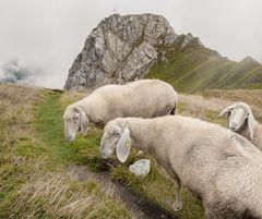 Schafe am Kaiserjoch