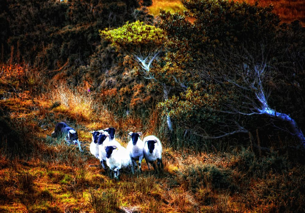 Schafe am Ring of Kerry