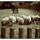 *Schafe am Zaun*