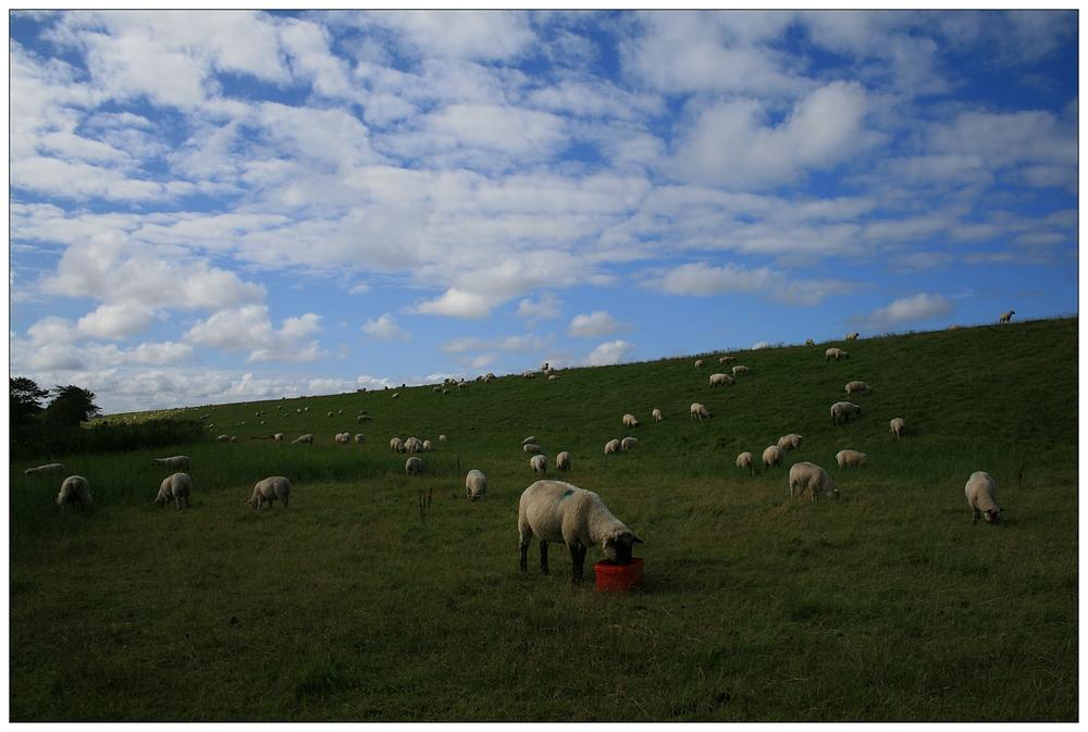 Schafe auf dem Deich...