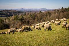 Schafe auf dem Durchenberg