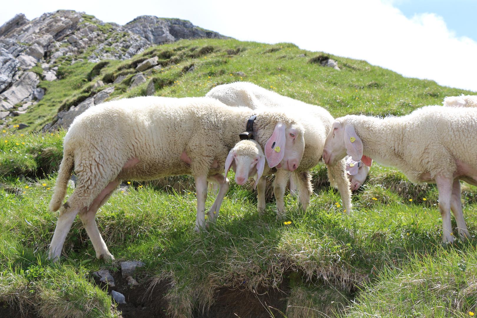 Schafe auf der Hochalm