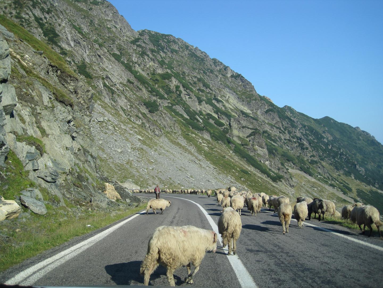 Schafe auf der Transfagarasan