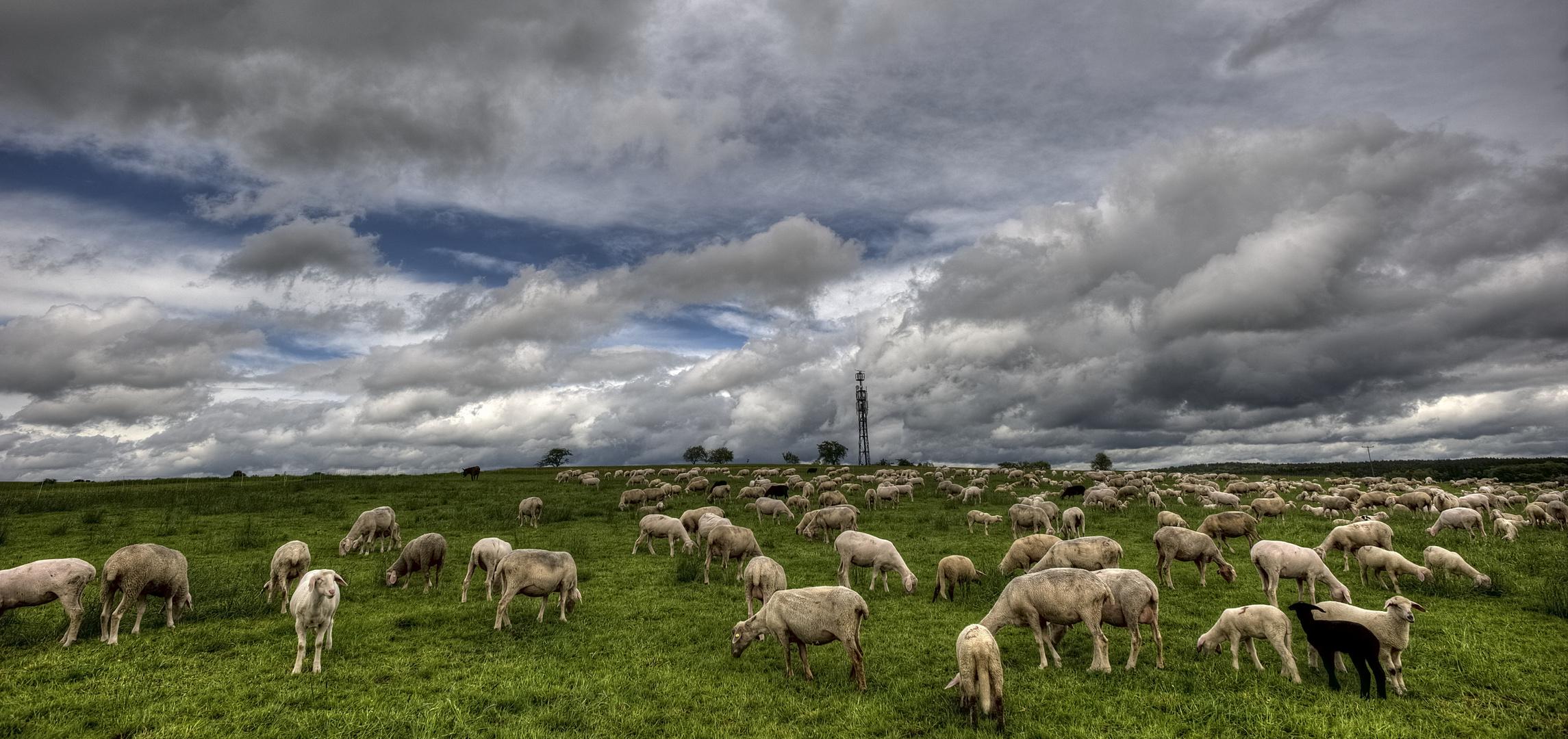 Schafe auf der Weide mit dramatischem Wolkenhimmel