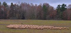 Schafe auf der Weide (ovejas en el pasto)