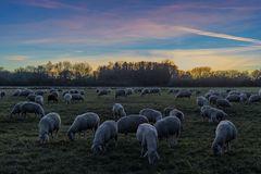 Schafe beim Sonnenuntergang