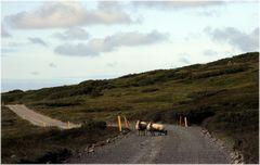 * Schafe haben Vorfahrt! *