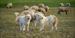Schafe hüten ...