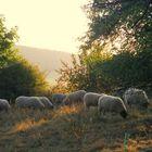 Schafe im Abendlicht