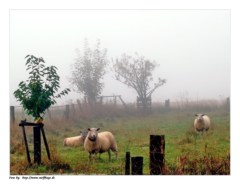 Schafe im Nebel