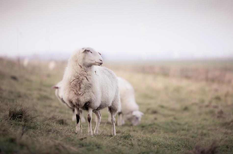 Schafe im November