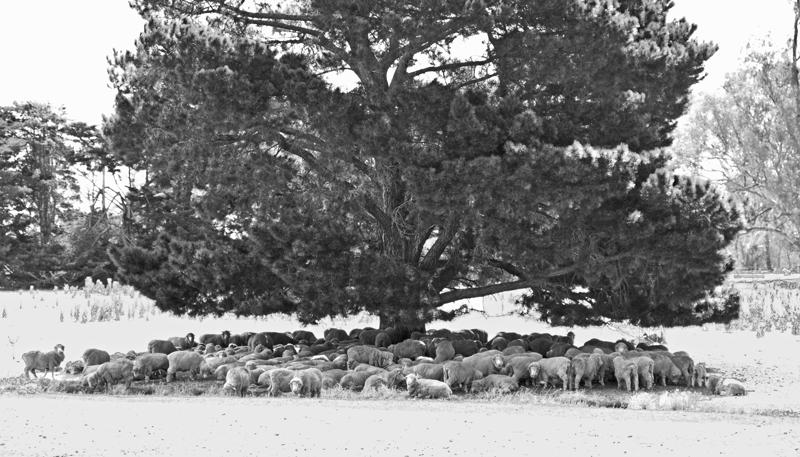 Schafe im Schatten