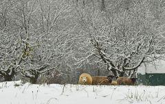 Schafe im Schnee (2)