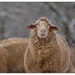 Schafe im Schneegestöber II