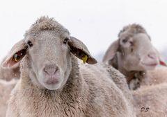 Schafe im Winterkleid