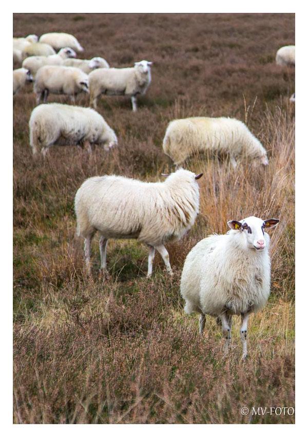 Schafe in der Westruper Heide