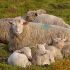 Schafe in Familie...