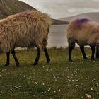 Schafe in irland