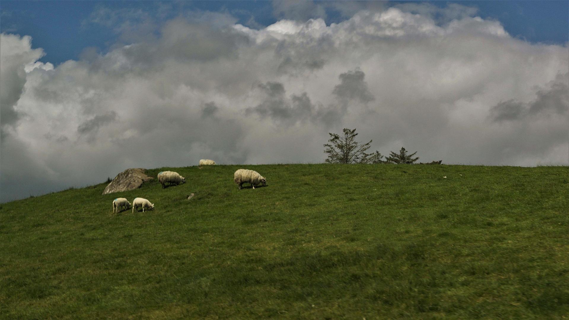 Schafe in Irland II