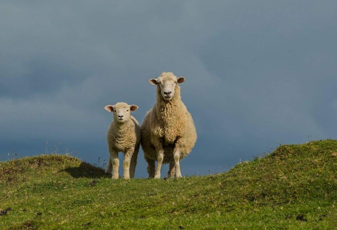 Schafe in Neuseeland Foto & Bild | tiere, haustiere ...