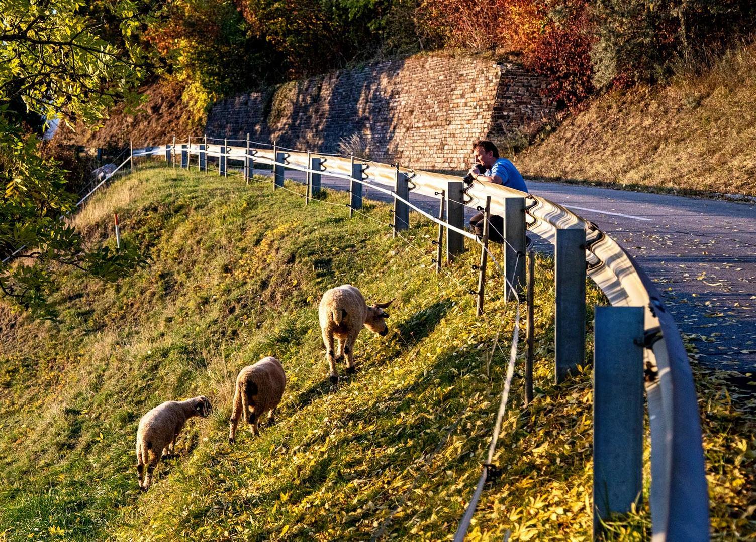 Schafe in Sankt Pangrazen (2)