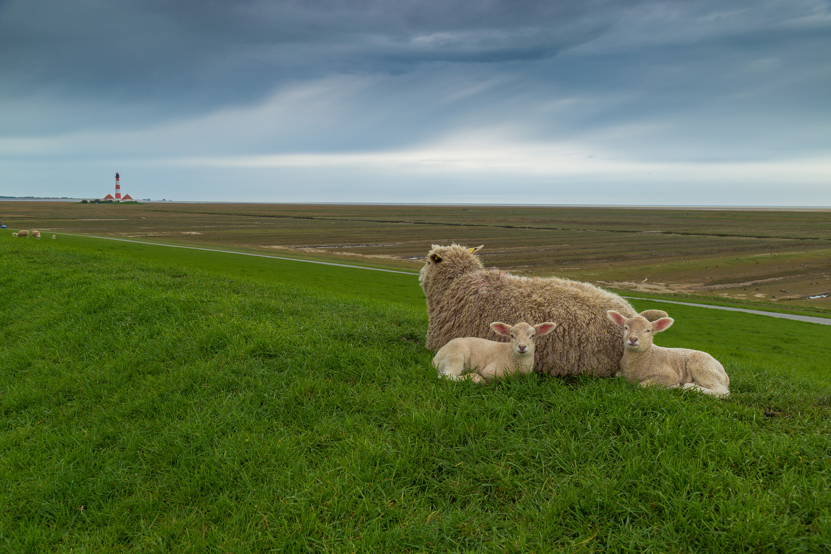 Schafe in Westerhever