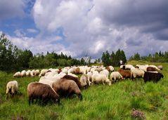 Schafe mit Schäferin auf dem Schliffkopf