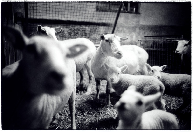 Schafe. Noordeloos Februar 2005