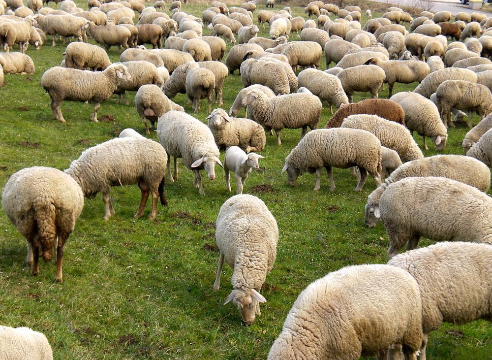Schafe, Schafe, hunderttausend SCHAFE!!!