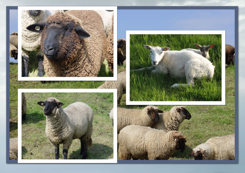Schafe so weit das Auge reicht ....