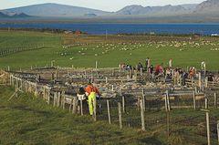 Schafe sortieren #1