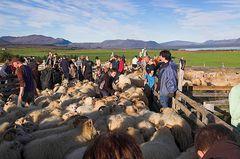 Schafe sortieren #2