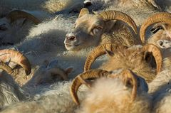 Schafe sortieren #6