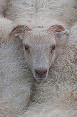 Schafe sortieren #7