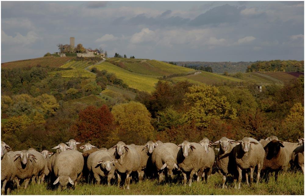 Schafe und Burg