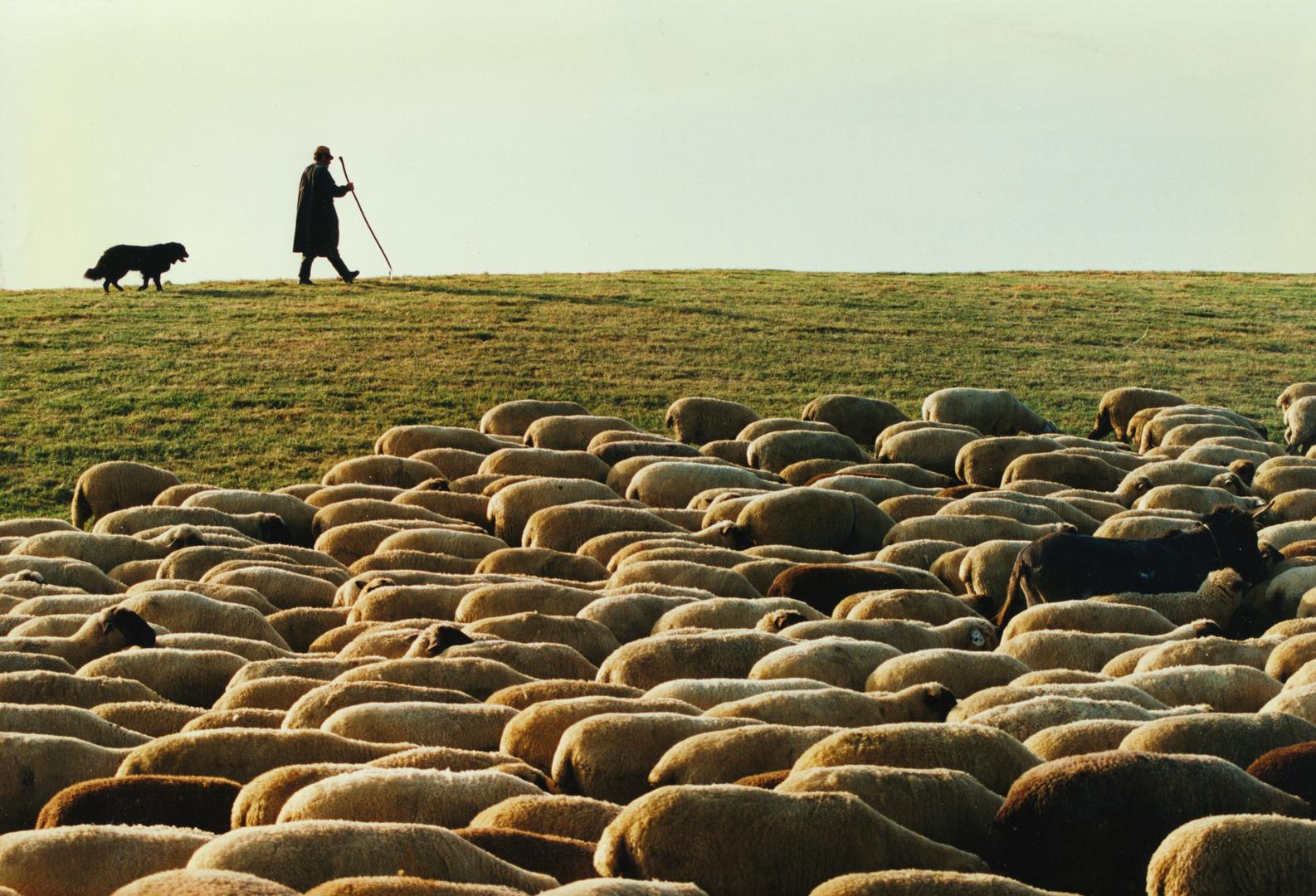 Schafe und Schäfer mit Schäferhund bei Köpfingen