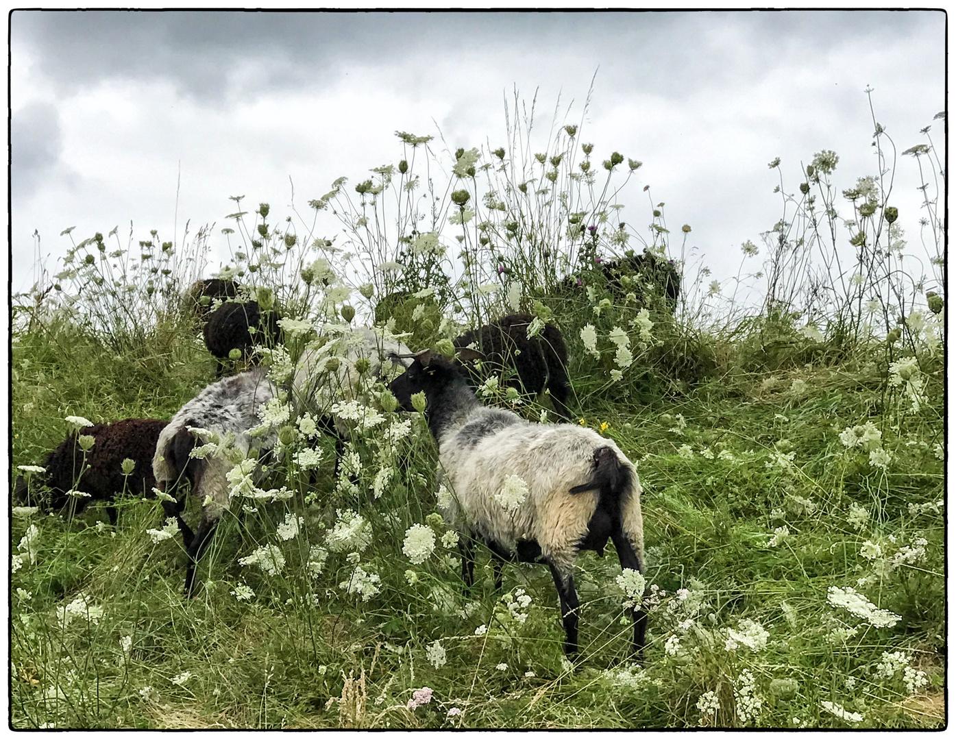Schafe und Wilde Möhre am Schutzdeich